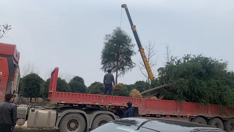 15公分杆径雪松装车发货北京