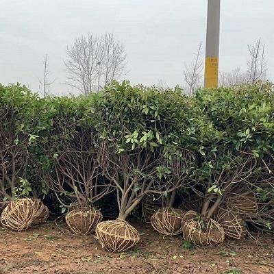 2米红叶石楠球发货湖北宜昌