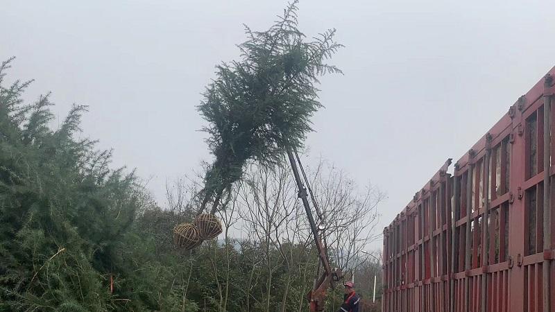 4米雪松发货河北廊坊