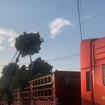8公分高杆红叶石楠装车发陕西咸阳