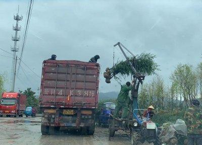 南京汤泉苗木种植基地的雪松便宜吗?