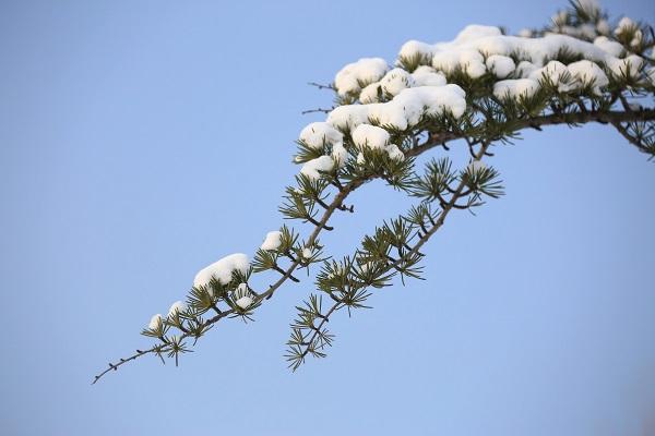 雪松苗木出现落针病如何来防治?